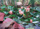 Salmon Lilies Among The Rocks by Judy  Loper